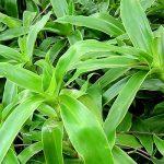 Tìm hiểu một số tác dụng của cây lược vàng